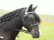 bobbie is a pony that does childrens sessions and carriage drives for gaira driving ponies